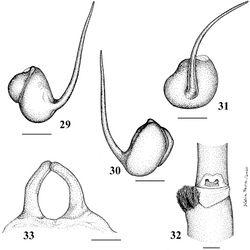 Figures 29–33. Pachistopelma rufonigrum Pocock, 1901 29–32 male (MNRJ 06247), left palpal bulb 29 prolateral 30 retrolateral 31 frontal 32 male tibial spur of left leg I 33 female (MNRJ 06246) spermathecae. Scale bar = 1mm.