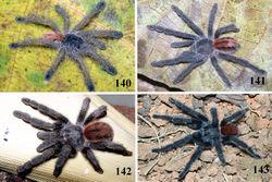 Figures 140–143. Iridopelma katiae sp. n., habitus 140 small immature 141 large immature 142 female 143 male, all from Chapada Diamantina National Park, Mucuge, state of Bahia. Photos: R. Bertani.