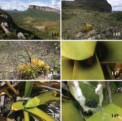 "Figures 144–149. Iridopelma katiae sp. n. habitats 144 general view of Chapada Diamantina showing ""Chapada"" formation 145 detail of top of ""Chapada"" formation showing ""campo rupestre"" area and a bromeliad (Vriesea atra)""island"" 146 detail of the bromeliad ""island"" 147 Iridopelma katiae sp. n. inside Vriesea atra leaves 148 Vriesea atra leaf folded and linked with silk threads making retreat 149 opened retreat, showing young. Photos: R. Bertani."