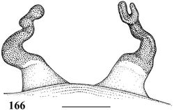 Figure 166. Iridopelma marcoi sp. n. holotype female (IBSP 36891), spermathecae. Scale bar = 1 mm.