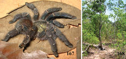 Figures 167–168. Iridopelma marcoi sp. n. 167 holotype female (IBSP 36891), habitus 168 habitat, São Desidério, state of Bahia. Photos: Marco A. Freitas.
