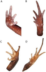 Figure 7. Photos of ventral surfaces of hand (A) and foot (B) of Phrynopus badius (MUSM 31099), and ventral surfaces of hand (C) and foot (D) of Phrynopus curator (MUSM 31106). Photos by E. Lehr.