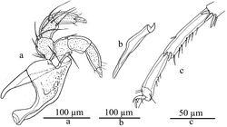 Figure 2. Lebertia (Lebertia) martini sp. n., Male: a gnathosoma b chelicera c IV-L-5-6.