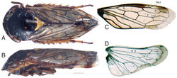 Figure 1. Tardrabassus pakneunensis sp. n. A habitus, dorsal view B same, lateral view C forewing D hind wing. Scale bar = 1 mm.