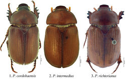 Figures 1–3. Dorsal habitus of Pseudogeniates species 1 Pseudogeniates cordobaensis 2 Pseudogeniates intermedius 3 Pseudogeniates richterianus