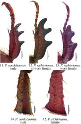Figures 11–15. Form of protibia (11–13) and metatibia (14–15) in Pseudogeniates species 11 Protibia of Pseudogeniates cordobaensis (male) 12 Protibia of unworn specimen of Pseudogeniates richterianus (female) showing 13 Protibia of worn specimen of Pseudogeniates richterianus (female) 14 Metatibia of Pseudogeniates cordobaensis (male) 15 Metatibia of Pseudogeniates richterianus (female)