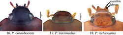 Figures 16–18. Form of the head (dorsal view) in Pseudogeniates species 16 Pseudogeniates cordoboaensis showing form of clypeal apex 17 Pseudogeniates intermedius showing form of clypeal apex 18 Pseudogeniates richterianus showing form of clypeal apex, labrum, and mandible