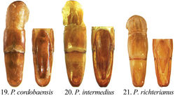 Figures 19–21. Form of male parameres (dorsal and ventral views) in Pseudogeniates species 19 Pseudogeniates cordobaensis (ventral plate nearly as long as dorsal plate, apex quadrate) 20 Pseudogeniates intermedius (ventral plate nearly as long as dorsal plate, apex rounded) 21 Pseudogeniates richterianus (ventral plate about half length of dorsal plate, apex acute)