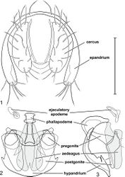 Figures 1–3. Gymnoclasiopa argyrostoma (Cresson) (USA: Washington. Pierce: DuPont). 1 epandrium and cerci, posterior view 2 internal structures of male terminalia (aedeagus [shaded], phallapodeme, gonite, hypandrium), ventral view 3 same, lateral view. Scale bar = 0.1 mm.