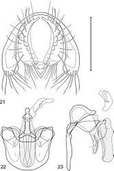 Figures 21–23. Gymnoclasiopa bohemanni (Becker) (Canada. Alberta. Okotoks, Sheep River). 21 epandrium and cerci, posterior view 22 internal structures of male terminalia (aedeagus [shaded], phallapodeme, gonite, hypandrium), ventral view 23 same, lateral view. Scale bar = 0.1 mm.