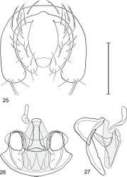 Figures 25–27. Gymnoclasiopa chiapas (Mathis) (Mexico. Chiapas. Biosfera El Triunfo). 25 epandrium and cerci, posterior view 26 internal structures of male terminalia (aedeagus [shaded], phallapodeme, gonite, hypandrium), ventral view 27 same, lateral view. Scale bar = 0.1 mm.