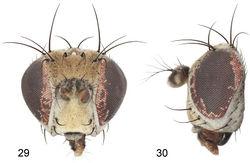 Figures 29–30. Gymnoclasiopa grecorum Mathis and Zatwarnicki, new species (USA. Alaska. Juneau: Thane Road). 29 head, anterior view 30 same, lateral view.