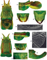 Figures 12–22. Isophya dochia sp. n.: 12 dorsal view of male head, pronotum and tegmina 13 lateral view of male pronotum and tegmina 14 male cerci 15 male subgenital plate 16 male stridulatory file (SEM photo) 17 dorsal view of female head, pronotum and tegmina 18 lateral view of female pronotum and tegmina 19 female stridulatory bristles (SEM photo) 20 female cerci 21 female subgenital plate 22 ovipositor. Scale 1 mm.