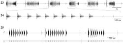 Figures 23–25. Oscillographic sound analysis in Isophya dochia sp. n., Ceahlău Mountains (24°C): 23 male song, consisting of syllable groups 24 detailed group of syllable 25 male–female mating acoustic duet.