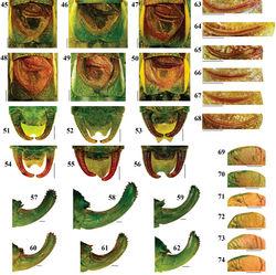 Figures 45–74. Morphological differences in close–related Isophya species: 45, 51, 57, 63, 69 Isophya dochia sp. n. 46, 52, 58, 64, 70 Isophya harzi, Piatra Craiului Mts. 47, 53, 59, 65, 71 Isophya camptoxypha, Nemira Mts. 48, 54, 60, 66, 72 Isophya ciucasi, Ciucaş Mts. 49, 55, 61, 67, 73 Isophya sicula, Harghita Mts. 50, 56, 62, 68, 74 Isophya nagyi, Călimani Mts. (45–50 male tegmina 51–56 male cerci57–62 ovipositor 63–68 male stridulatory file 69–74 female stridulatory bristles). Scale 1 mm.
