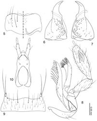 Figures 5–10. Neotermitosocius bolivianus mouthparts. 5 labrum, left side = labrum, right side = epipharynx 6 left mandible, dorsal view 7 right mandible, dorsal view 8 maxilla, ventral view 9 mentum, ventral view 10 labium in ventral view.