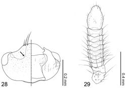 Figure 28–29. Coptotermocola clavicornis. 28 head capsule left side = dorsal view, right side = ventral view 29 antenna.
