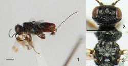 Figures 1–3. Ettchellsia ignita, sp. n. (holotype). 1 General habitus 2 Head in dorsal view 3 Mesosoma in dorsal view. Scale = 1.0 mm.
