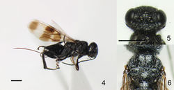 Figures 4–6. Ettchellsia nigripes, sp. n. (holotype). 4 General habitus 5 Head in dorsal view 6 Mesosoma in dorsal view. Scale = 1.0 mm.
