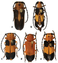 Figure 5. New species of Hispaniolan Hemilophini (not to scale): a Calocosmus punctatus Lingafelter, sp. n., holotype b Calocosmus rawlinsi Lingafelter, sp. n., holotype c Calocosmus robustus Lingafelter, sp. n., holotype d Calocosmus robustus Lingafelter, sp. n., paratype e Calocosmus robustus Lingafelter, sp. n., paratype.