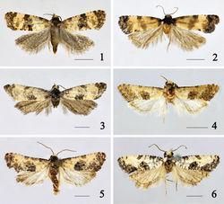 Figures 1–6. Adults of Cochylis spp. 1 Cochylis atricapitana (Stephens), female (Buerjin, Xinjiang) 2 Cochylis discerta Razowski, female (Sunan, Gansu) 3 Cochylis dubitana (Hübner), male (Tahe, Heilongjiang) 4 Cochylis faustana (Kennel), male (Beitun, Xinjiang) 5 Cochylis posterana hyrcana (Toll), male (Tacheng, Xinjiang) 6 Cochylis triangula sp. n., holotype, male (Daozhen, Guizhou). (scales = 2.5 mm).