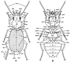 Figure 3. Structure of a generalized lebiine ground beetle (Carabidae) A, dorsal view. B, ventral view. Adapted from Lindroth,1969: XII.