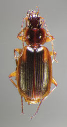 Figure 8. Dorsal habitus and color pattern of Cymindis limbata Dejean (OBL 9.83 mm).