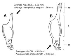 Figure 15. Lateral aspect of phallus (sac everted) of Cymindis platicollis platicollis (Say), showing interpopulation variation of phallic apex texturing and difference in typical phallus size between northeastern (A) and southwestern (B) populations. Legend: aa, apical area; bl, basal lobe; s, shaft; obl, overall body length.