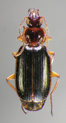 Figure 16. Dorsal habitus and color pattern of Cymindis platicollis atripennis (Casey) (OBL 10.33 mm).