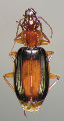 Figure 18. Dorsal habitus and color pattern of Cymindis rufostigma, new species (OBL 9.17 mm).