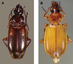 Figure 22. Dorsal habitus and color pattern of Cymindis punctigera punctigera LeConte: A, showing typical dorsal coloration (OBL 10.17 mm); B, showing coloration of some specimens from the Big Bend area of southwestern Texas, U.S.A. (OBL 11.83 mm).