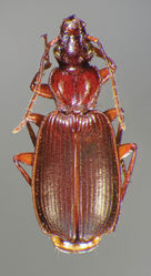 Figure 23. Dorsal habitus and color pattern of Cymindis punctigera sulcipennis (Horn) (OBL 10.83 mm).