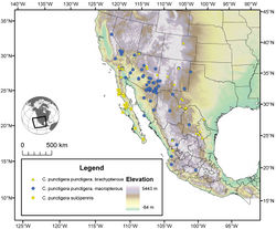 Figure 29. Map of southwestern U.S.A. and northern Mexico, showing position of localities of the subspecies of Cymindis punctigera LeConte, and distribution of macropterous and brachypterous individuals of Cymindis punctigera punctigera.