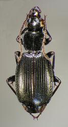 Figure 30. Dorsal habitus and color pattern of Cymindis chevrolati Dejean (OBL 12.00 mm).