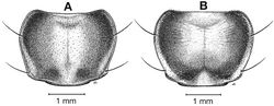 Figure 31. Pronota, dorsal aspect, of Cymindis chevrolati Dejean, showing intrapopulation variation in pronotal punctulation: A, typical, scattered and irregular punctation; B, less common, pronotal disc almost smooth with punctation more visible toward margins.