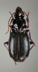 Figure 32. Dorsal habitus and color pattern of Cymindis laevior (Bates) (OBL 11.67 mm).