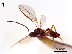 Figure 1. Dinotrema alysiae sp. n. (female).Habitus, lateral view.