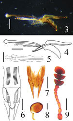 Figures 3–9. Dacne (Xenodacne) tangliangi. 3, 4 aedeagus in lateral views 5 internal sac and flagellum in dorsal view 6, 7 female genitalia in ventral views 8 female spermatheca 9 antenna. Scales = 0.05 mm(5, 8), Scales = 0.2 mm(3, 4, 6, 7, 9).