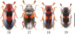 Figures 16–19. Habitus of Chinese species of Dacne in dorsal view (Dacne zonaria taiwana is excluded). 16 Dacne (Dacne) japonica 17 Dacne (Xenodacne) hujiayaoi 18 Dacne (Dacne) picta 19 Dacne (Xenodacne) tangliangi. Scale = 2 mm.