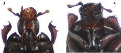 Figures 3–4. Prosternum in ventral view. 3 Carcinops (Carcinops) troglodytes 4 Euspilotus (Hesperosaprinus) modestus.