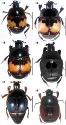 Figures 13–18. Habitus in dorsal view. 13 Euspilotus (s. str.) richteri 14 Euspilotus (s. str.) lepidus 15 Euspilotus (s. str.) ornatus 16 Euspilotus (Hesperosaprinus) caesopygus 17 Euspilotus (Hesperosaprinus) strobeli 18 Euspilotus (Hesperosaprinus) pavidus. Scale bars: 2 mm.