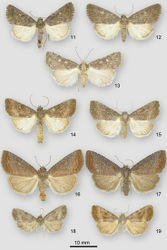 Figures 11–19. Ogdoconta and Fotella notalis adults. 11 Ogdoconta satana male 12 Ogdoconta satana female paratype 13 Fotella notalis dark female 14 Ogdoconta tacna male 15 Ogdoconta tacna female 16 Ogdoconta rufipenna male holotype 17 Ogdoconta rufipenna female paratype 18 Ogdoconta fergusoni male holotype 19 Ogdoconta fergusoni female paratype.