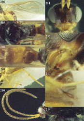 Figures 206–214. Phaedrotoma angiclypeata sp. n., female, holotype. 206 Wings 207 mesosoma dorsal 208 propodeum and 1st-3rd metasomal tergites dorsal 209 hind leg 210 antennae 211 head anterior 212 mandible 213 ovipositor sheath 214 pronope dorsal.