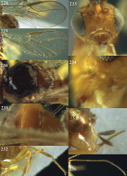 Figures 228–236. Phaedrotoma depressa nom. n., female, Changsha, but 229 Badagong Mts. 228, 229 Wings 230 mesosoma dorsal 231 1st-3rd metasomal tergites dorsal 232 hind leg 233 head anterior 234 mandible 235 ovipositor sheath 236 antenna.
