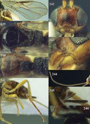 Figures 238–246. Phaedrotoma depressiclypealis sp. n., female, holotype. 238 Wings 239 mesosoma dorsal 240 propodeum and 1st-3rd metasomal tergites dorsal 241 hind leg 242 head anterior 243 mandible 244 antenna 245 ovipositor sheath 246 pronope dorsal.