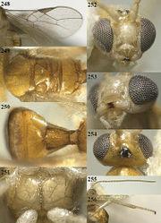 Figures 248–256. Phaedrotoma flavisoma sp. n., male, holotype. 248 Wings 249 mesosoma dorsal 250 propodeum and 1st-3rd metasomal tergites dorsal 251 mesosternum ventral 252 head anterior 253 mandible 254 head dorsal 255 antenna 256 hind leg.