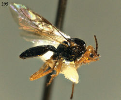 Figure 295. Phaedrotoma striatinota sp. n., male, holotype. Habitus lateral.