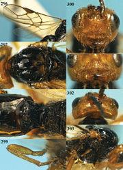 Figures 296–303. Phaedrotoma striatinota sp. n., male, holotype. 296 Wings 297 mesosoma dorsal 298 propodeum and 1st-2nd metasomal tergites dorsal 299 hind leg 300 head anterior 301 clypeus and mandible anterior 302 head dorsal 303 mesosoma lateral.