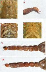 Figures 5–10. Vaejovis brysonisp. n.,paratype female carapace 5; telson 6; pectines 7; paratype male pectines and sternites 8; paratype female metasoma dorsal 9; and ventral 10.