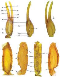 Figure 12. Vaejovis brysonisp. n.trichobothrial pattern.